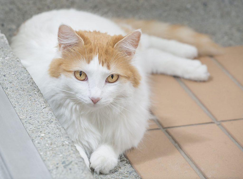animalerie Turc de Van animalerie chat00