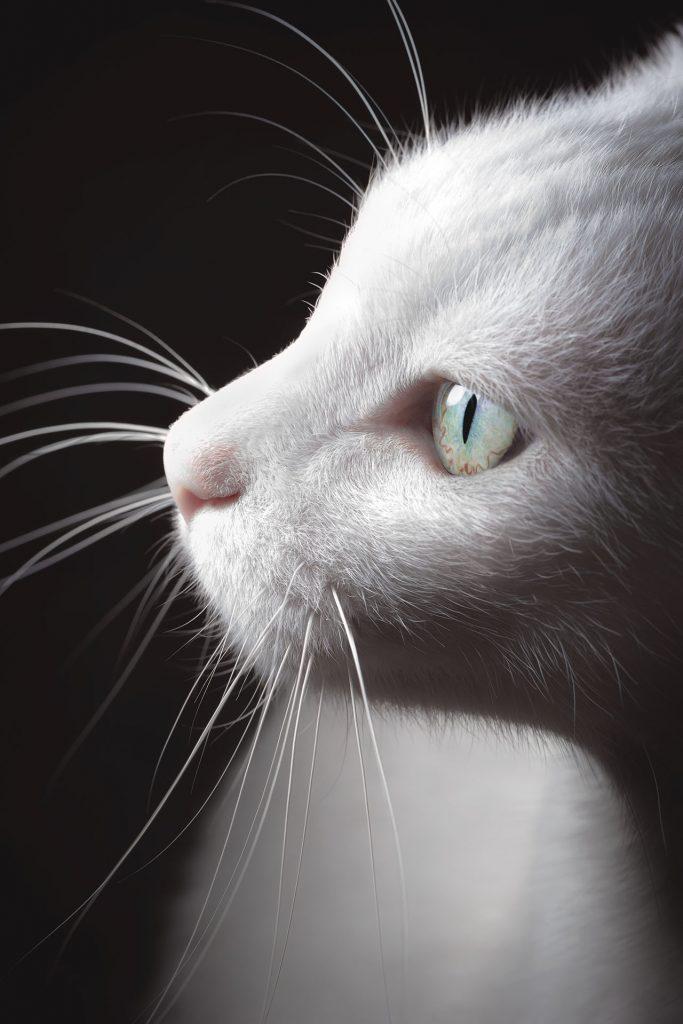 animalerie Turc de Van animalerie chat01