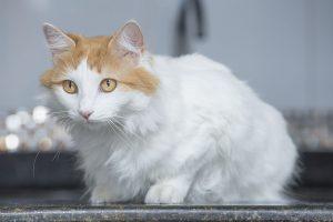 animalerie Turc de Van animalerie chat02