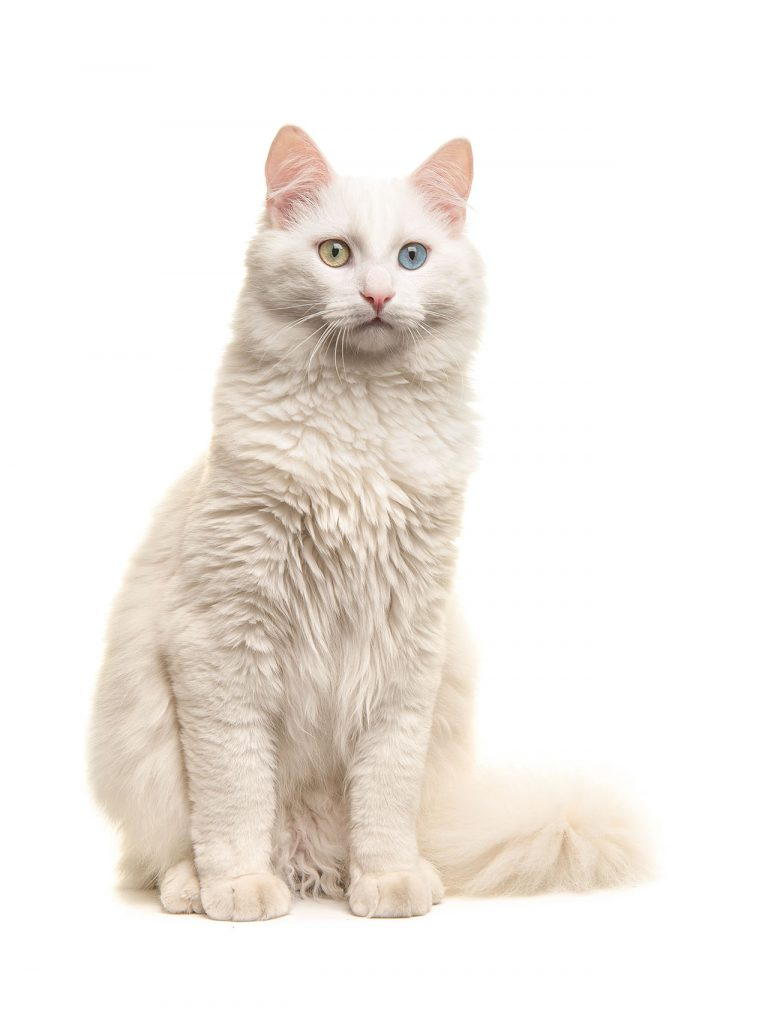 animalerie Turc de Van animalerie chat03