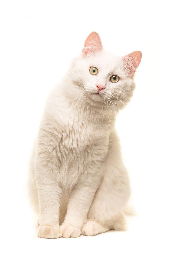 animalerie Turc de Van animalerie chat04
