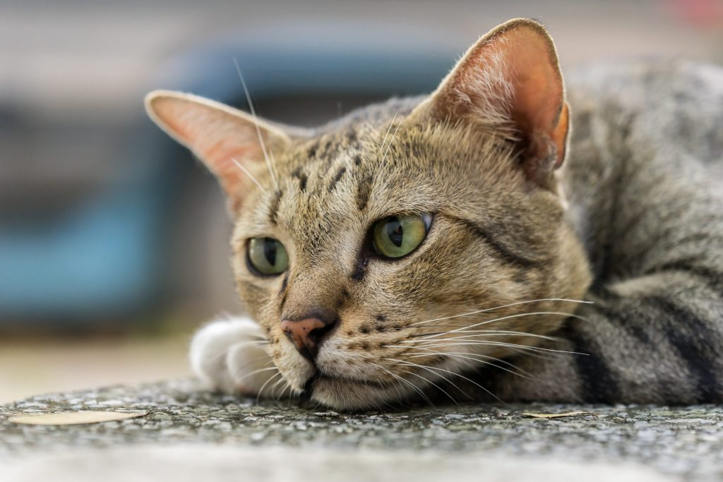 animalerie american shorthair animalerie chat 1 scaled 1