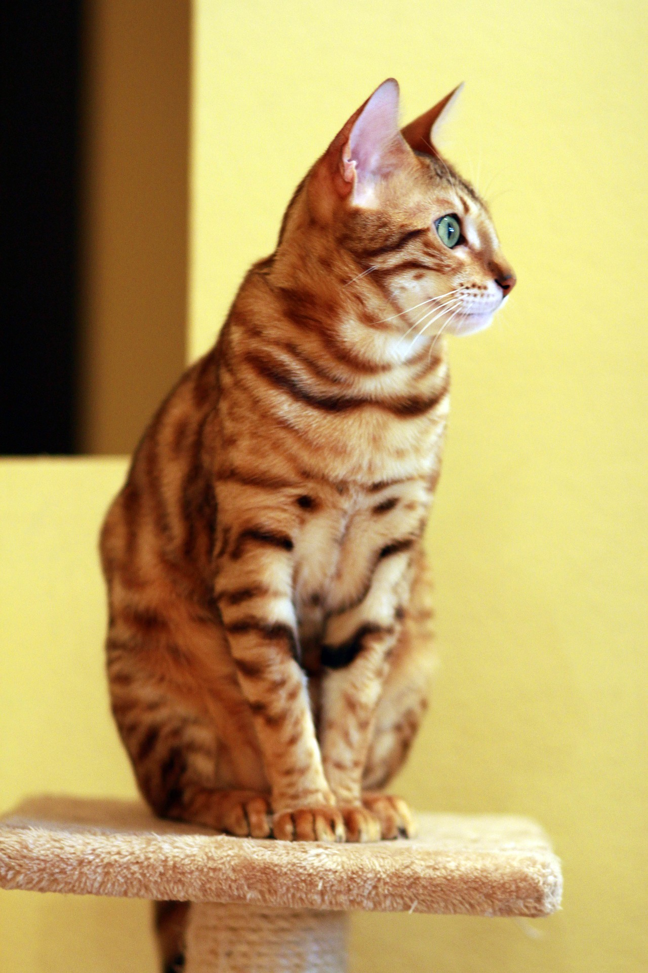 animalerie bengal animalerie chat 16