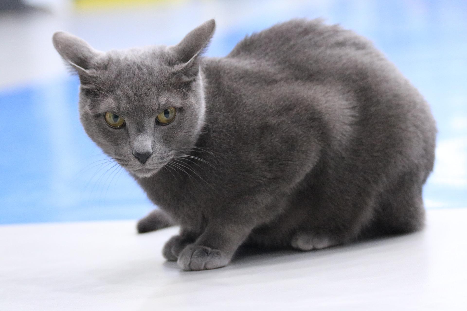 animalerie bleu russe animalerie chat 11