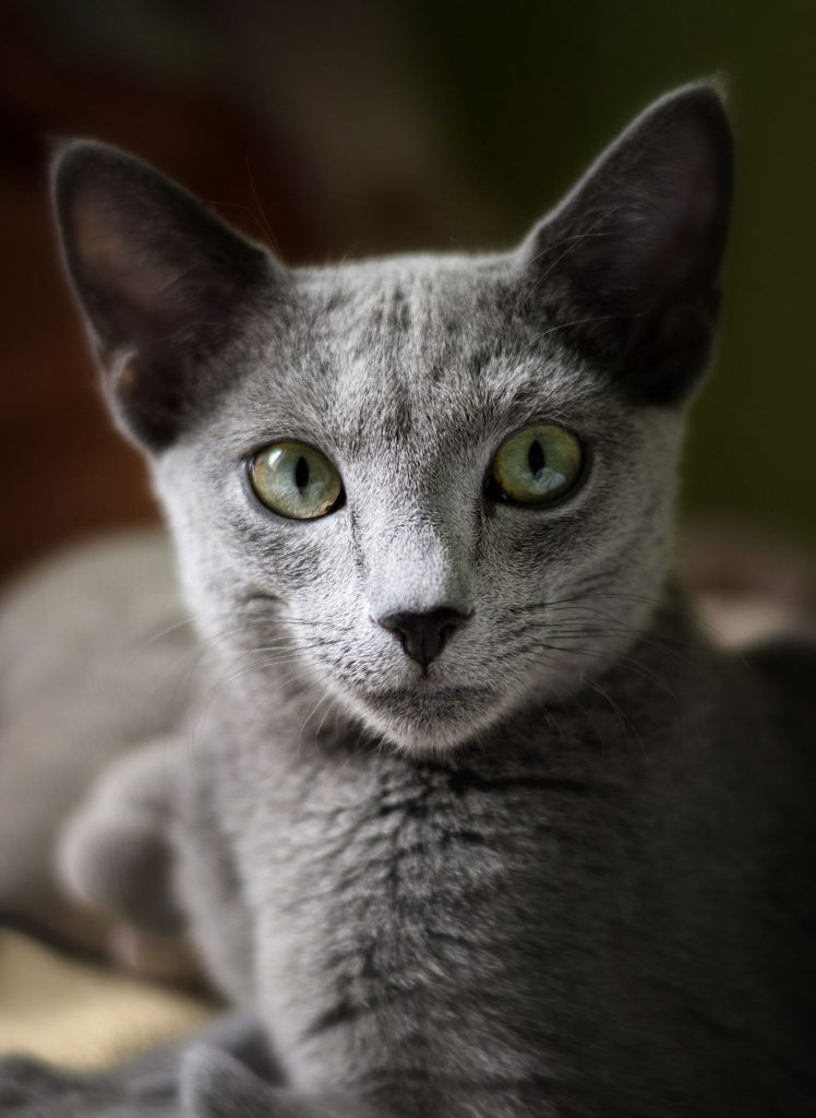 animalerie bleu russe animalerie chat 13