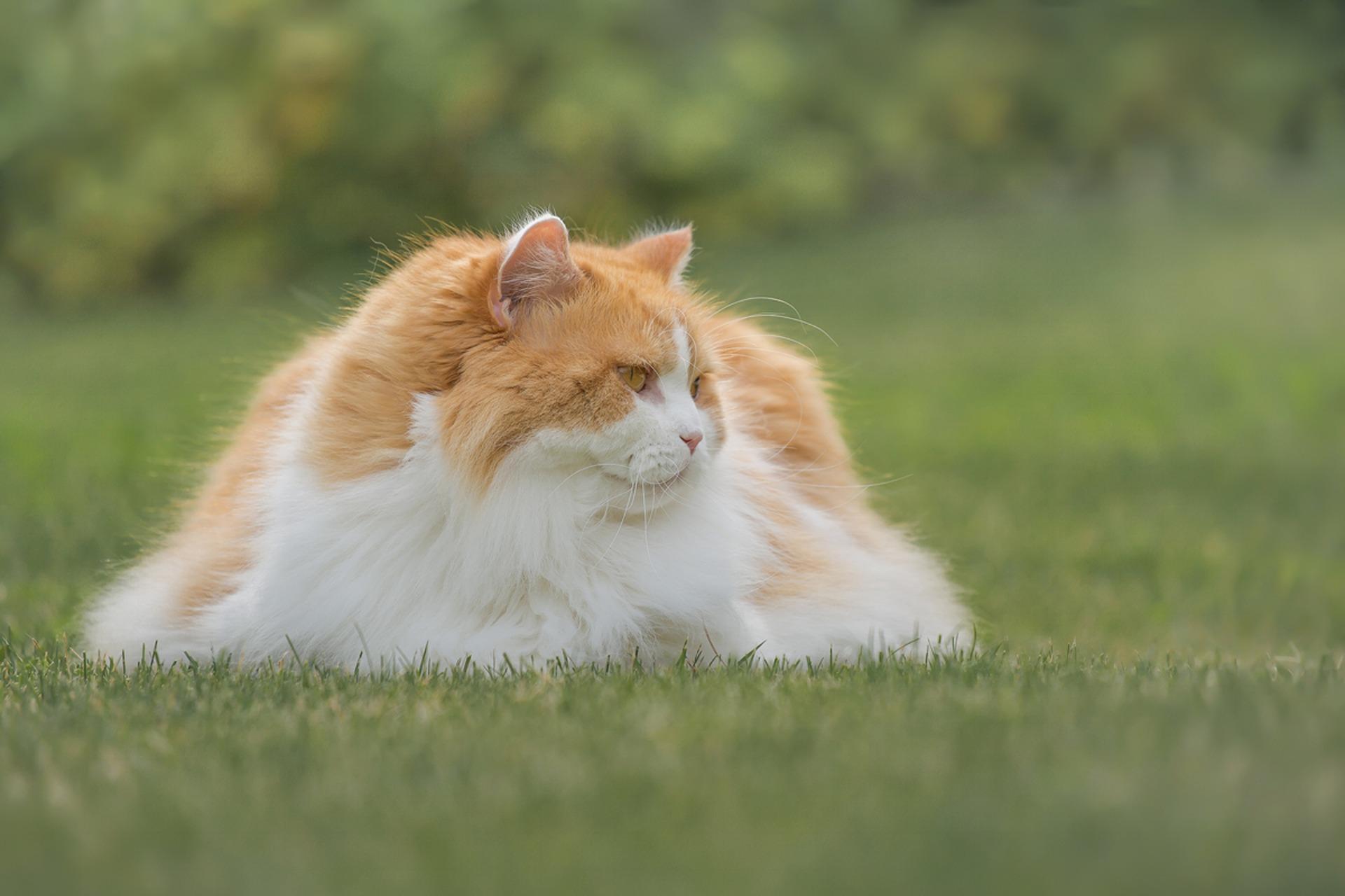 animalerie british longhair animalerie chat 1