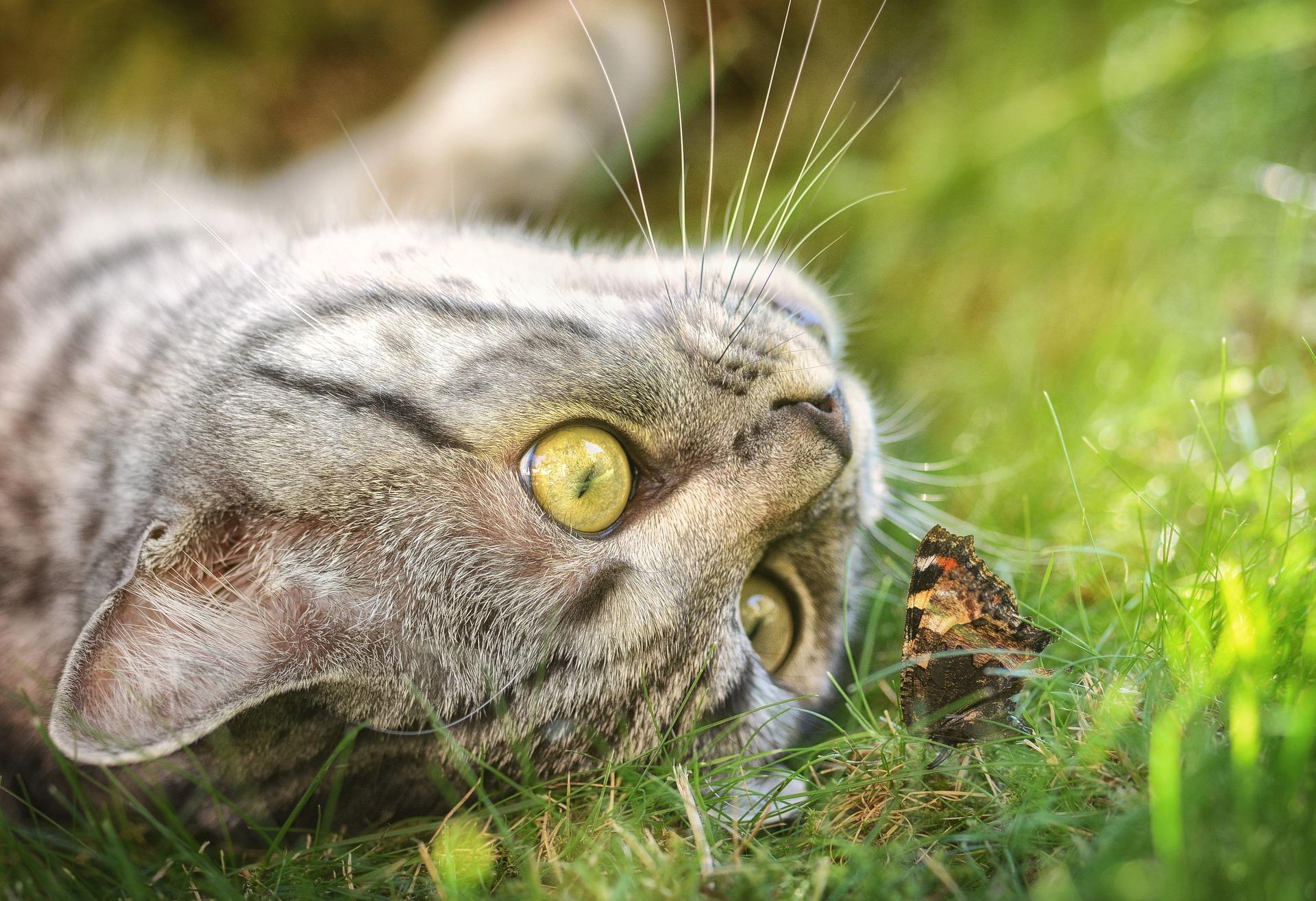 animalerie british shorthair animalerie chat 12 1