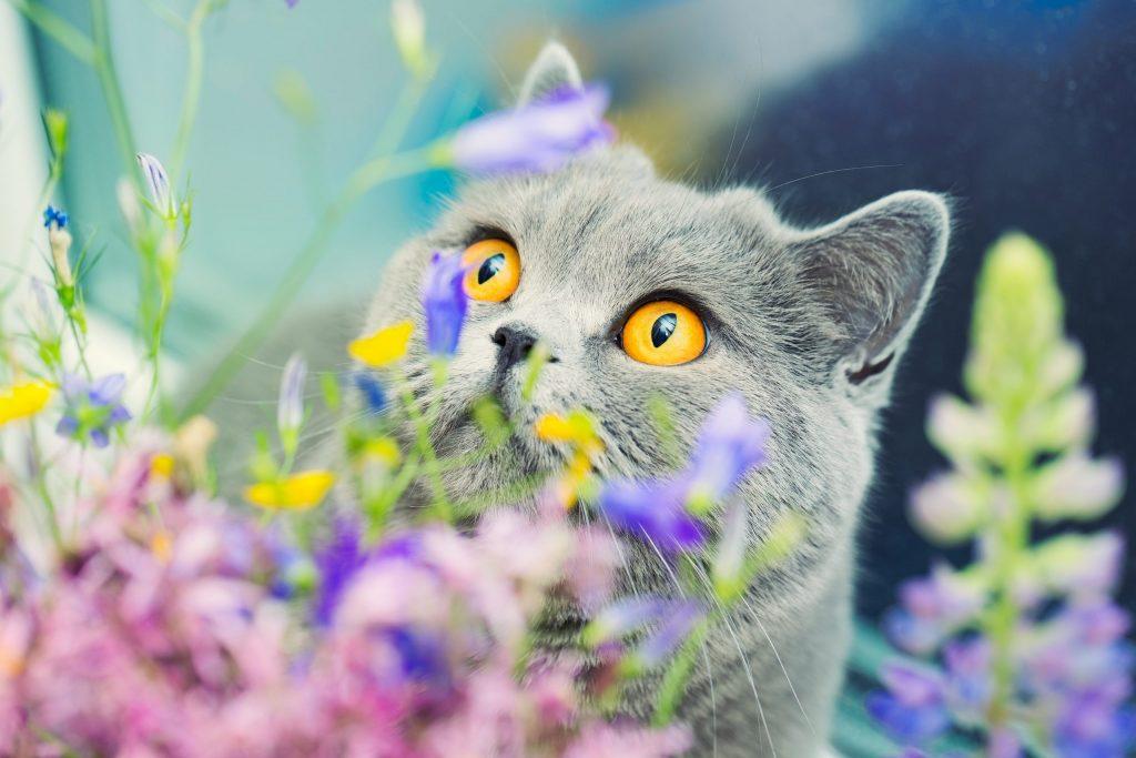animalerie british shorthair animalerie chat 35 1 scaled 1