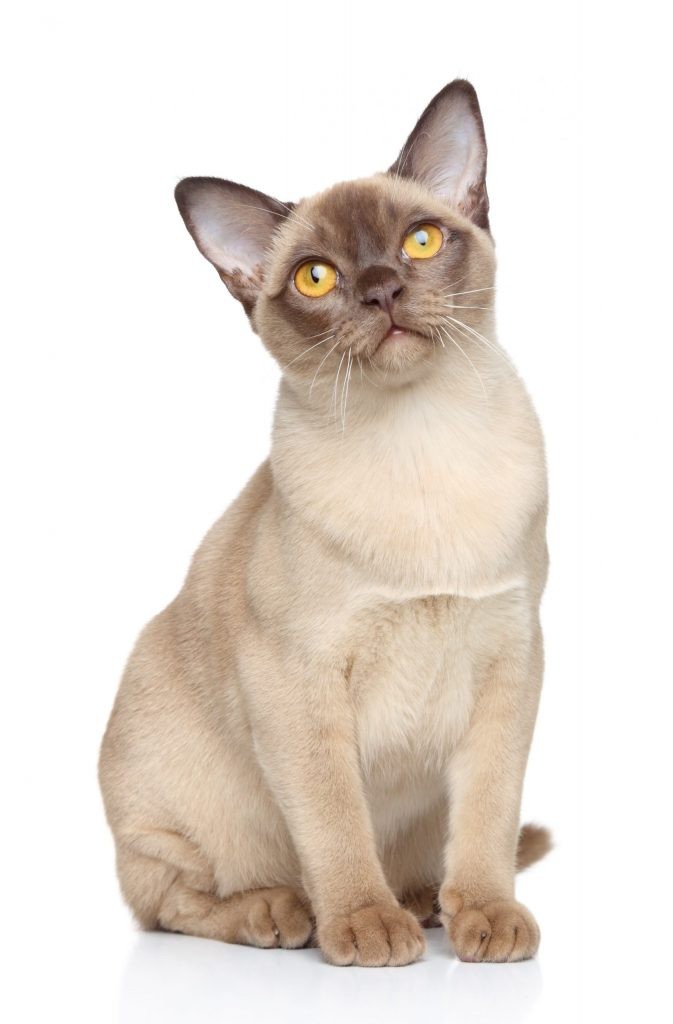 animalerie burmese animalerie chat13 scaled 1