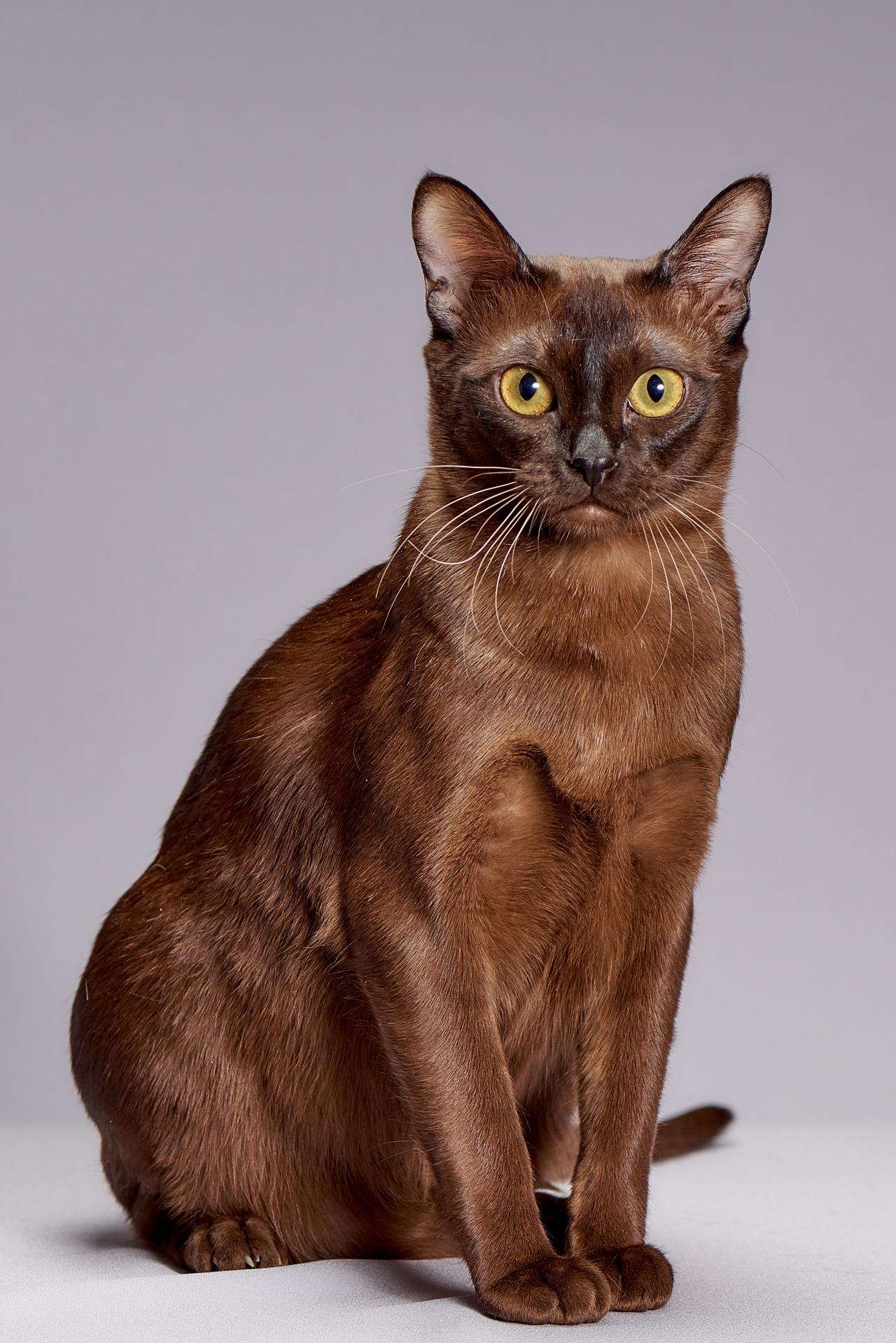 animalerie burmese animalerie chat4