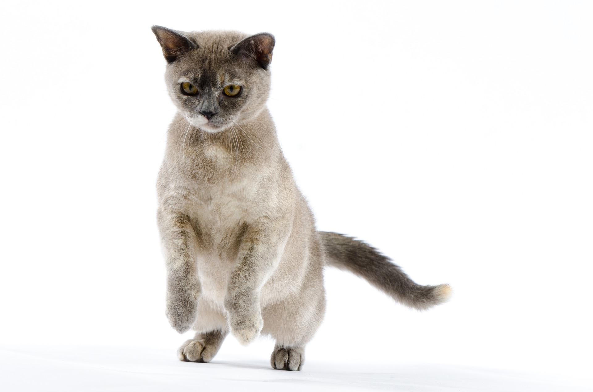 animalerie burmese animalerie chat5