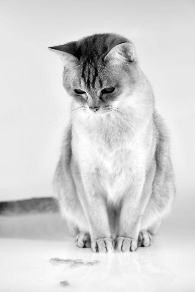 animalerie burmilla animalerie chat 7 scaled 1