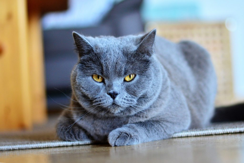animalerie chartreux animalerie chat 16