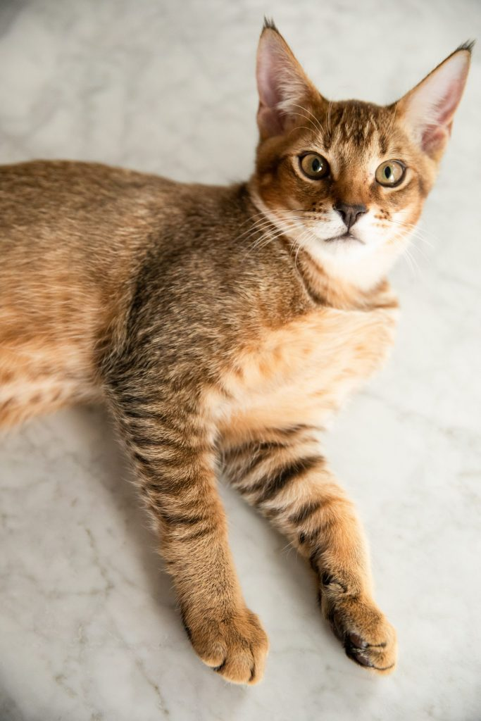 animalerie chausie animalerie chat 4 scaled 1