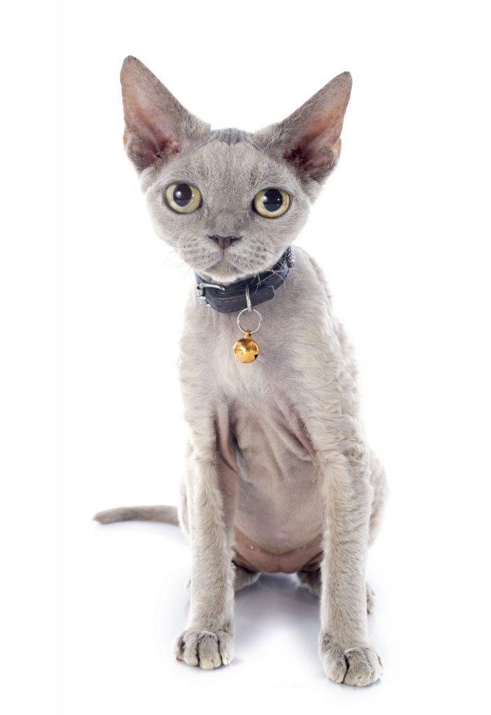 animalerie devon rex animalerie chat 10 scaled 1