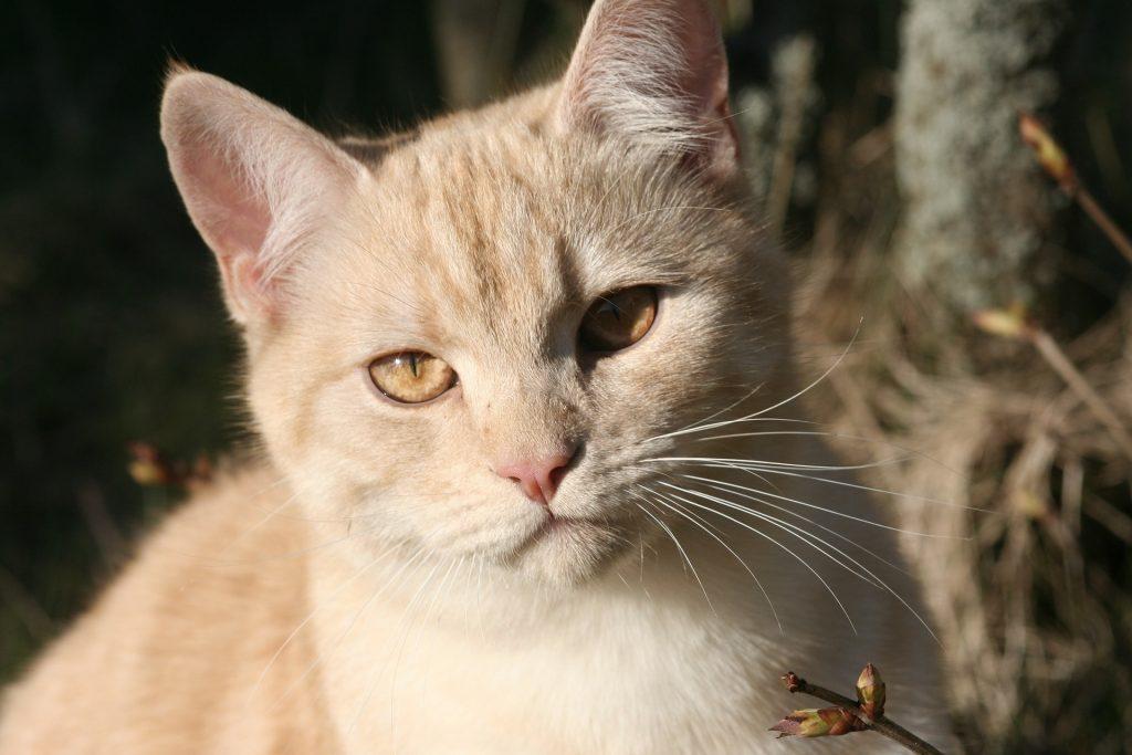 animalerie european shorthair animalerie chat 24