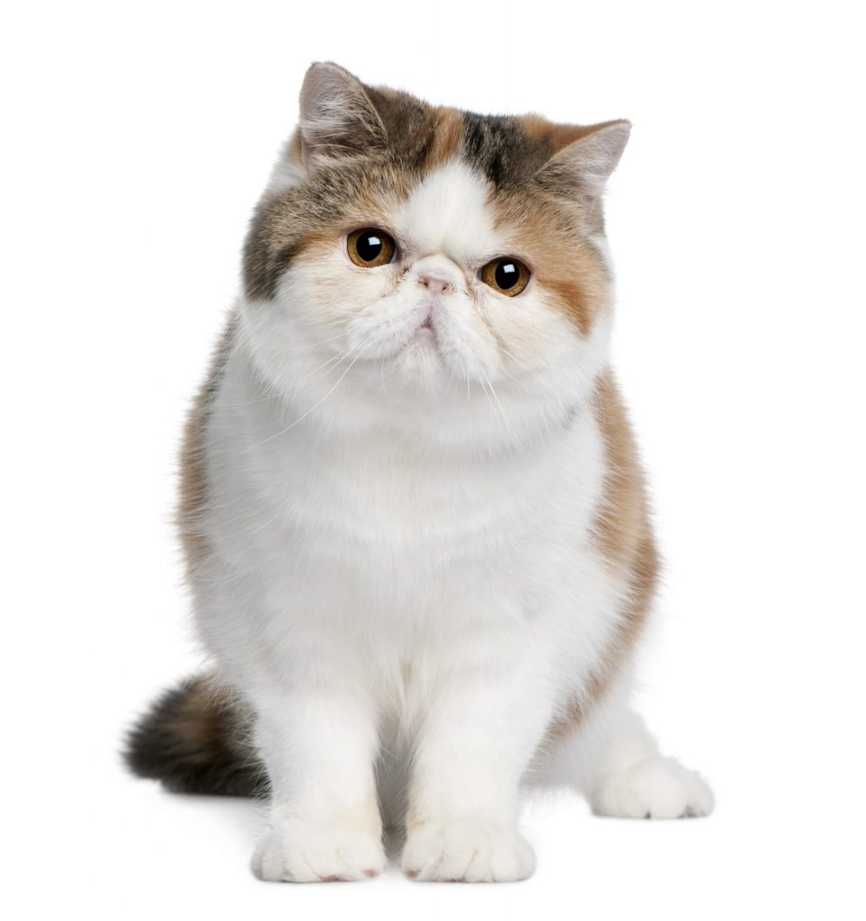 animalerie exotic shorthair animalerie chat 1 scaled 1