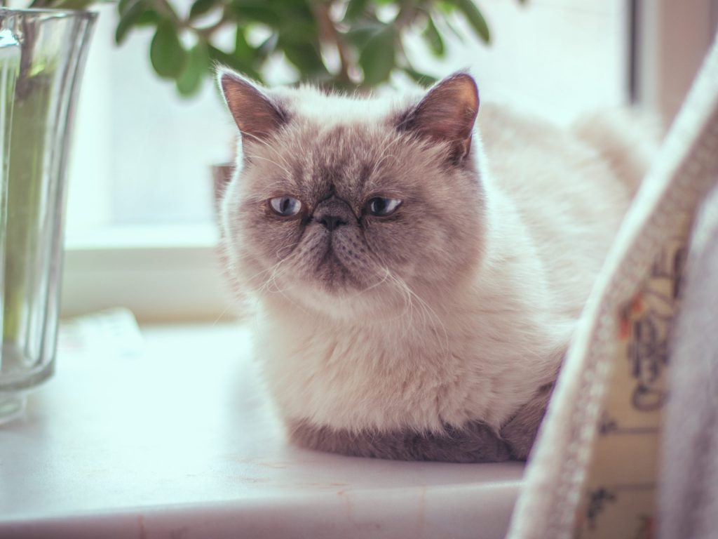 animalerie exotic shorthair animalerie chat 10 scaled 1
