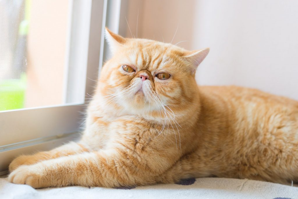 animalerie exotic shorthair animalerie chat 14 scaled 1