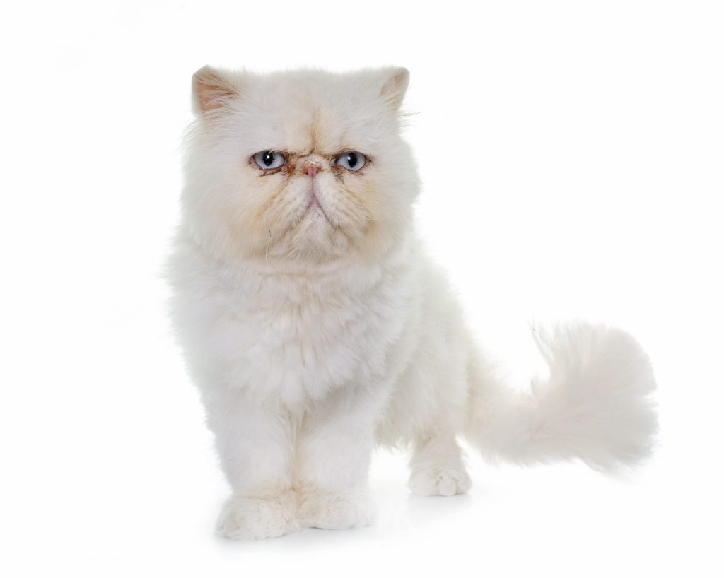 animalerie exotic shorthair animalerie chat 15 scaled 1