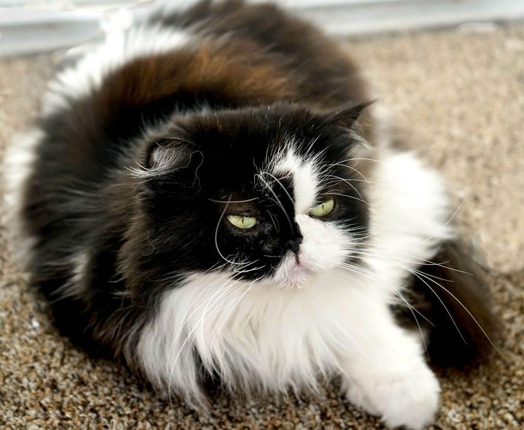 animalerie himalayien animalerie chat 1