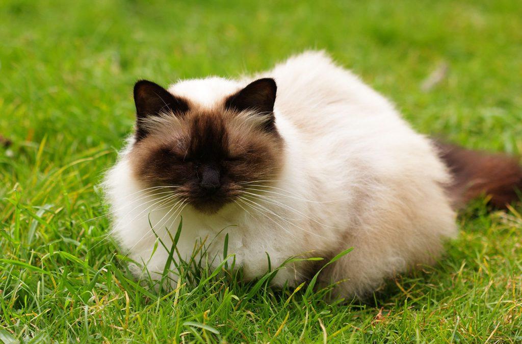 animalerie himalayien animalerie chat 2