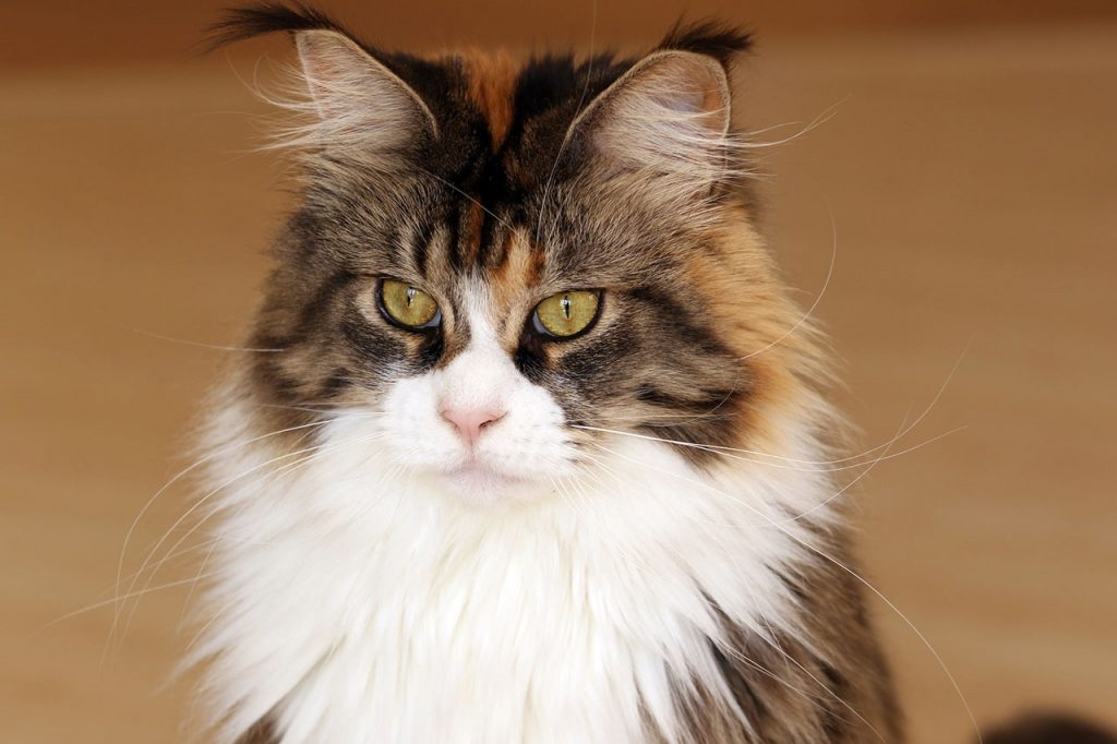 animalerie maine coon animalerie chat 11 1