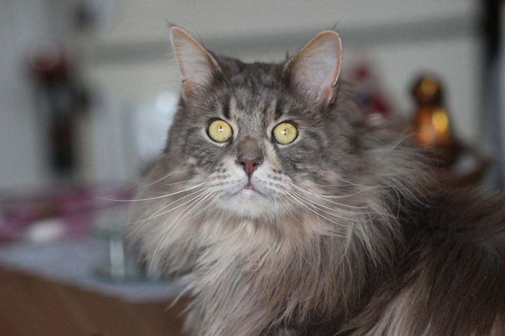 animalerie maine coon animalerie chat 18