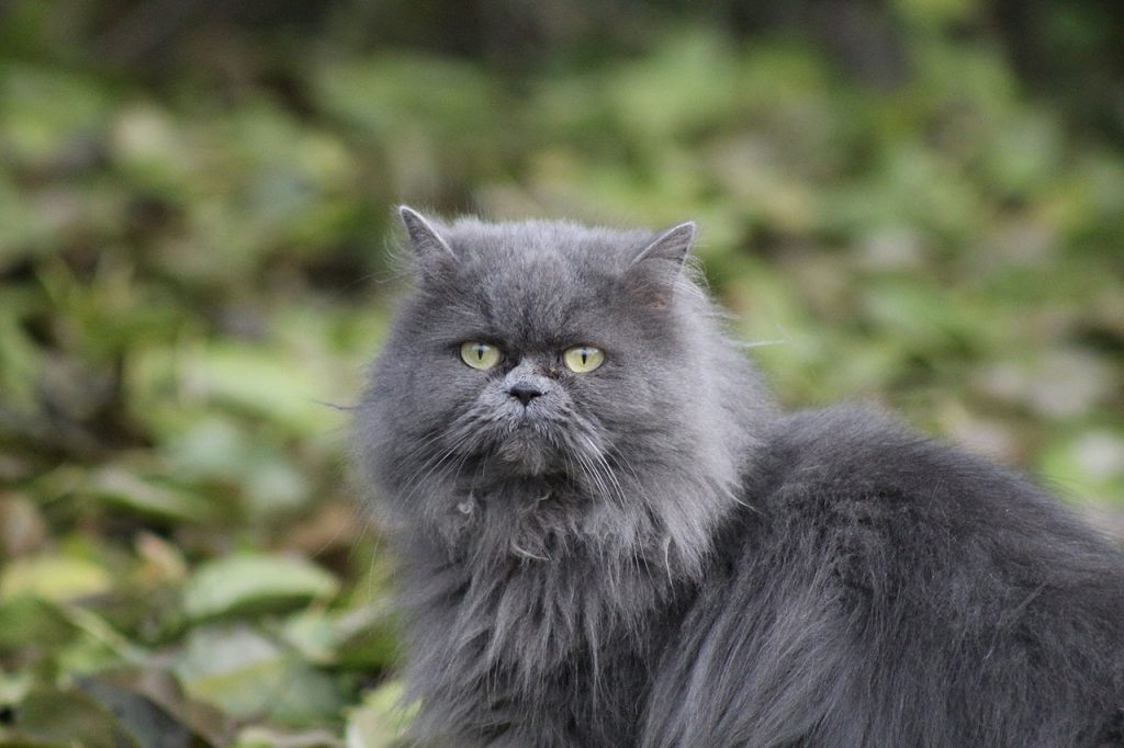 animalerie persan animalerie chat 6