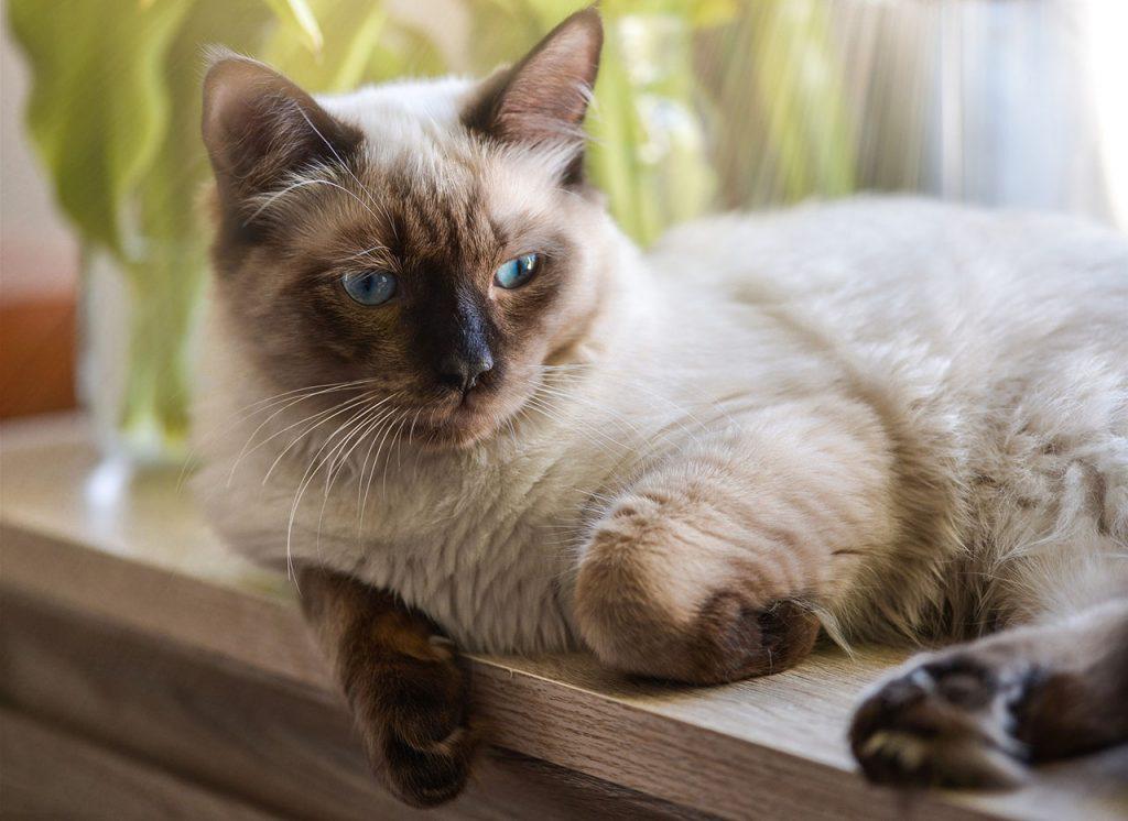 animalerie ragdoll animalerie chat 13