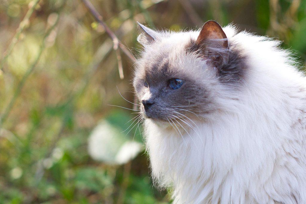 animalerie ragdoll animalerie chat 22