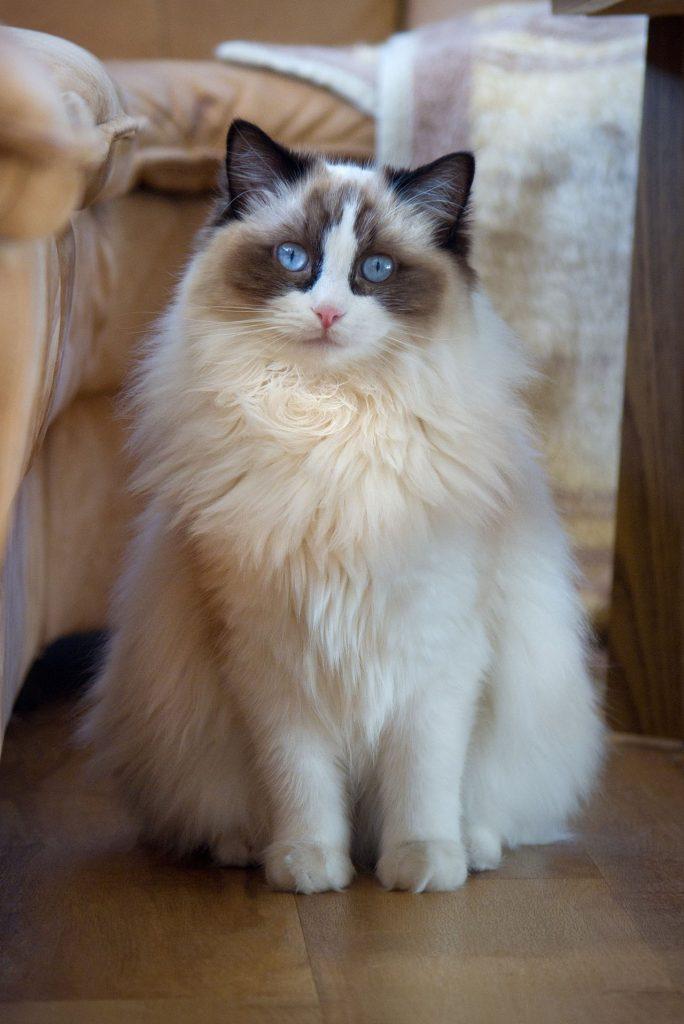 animalerie ragdoll animalerie chat 25