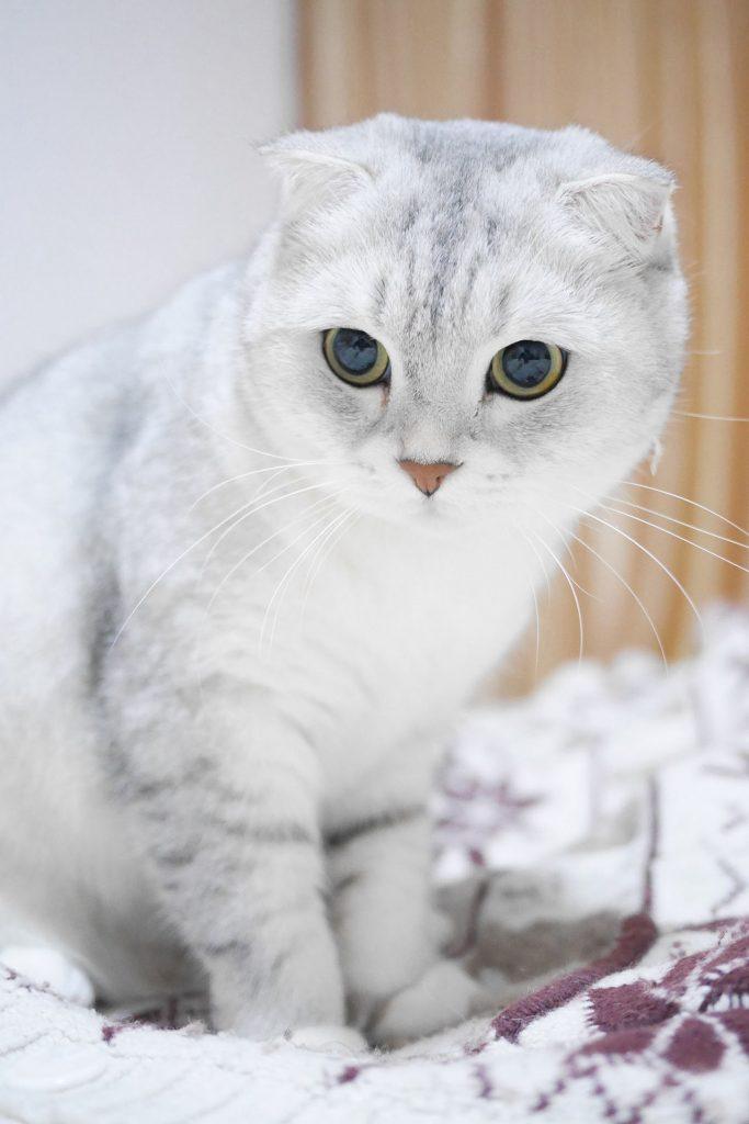 animalerie scottish fold animalerie chat 6