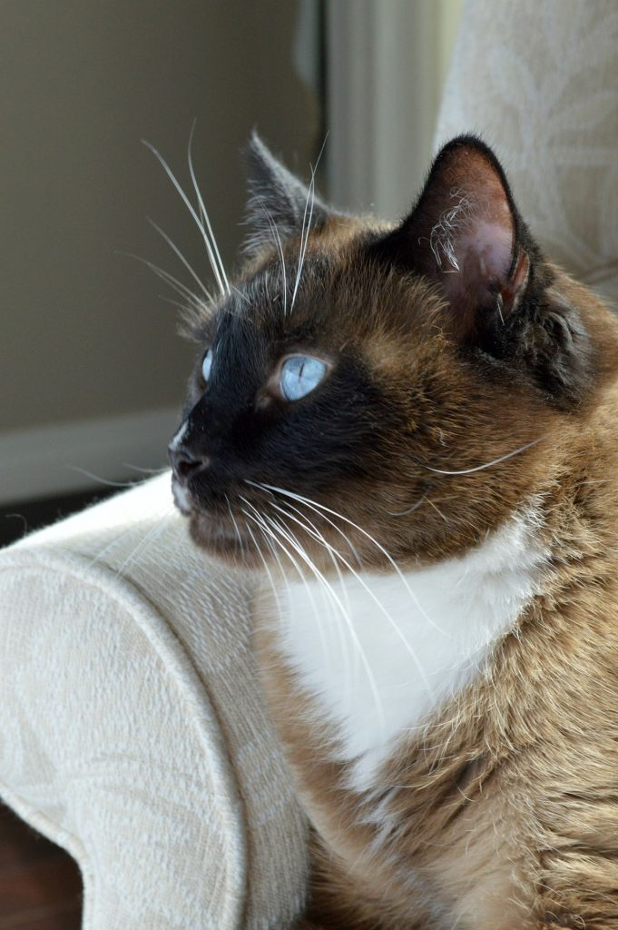 animalerie snowshoe animalerie chat 1